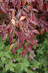 Pipa's Red Fringeflower (Loropetalum chinense 'Pipa's Red') at Roger's Gardens