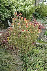 Safari Sunset Conebush (Leucadendron 'Safari Sunset') at Roger's Gardens