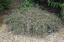 Pink Cascade Tea-Tree (Leptospermum scoparium 'Pink Cascade') at Roger's Gardens