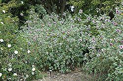 Bicolor Tree Mallow (Lavatera maritima 'Bicolor') at Roger's Gardens