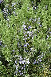 Collingwood Ingram Rosemary (Rosmarinus officinalis 'Collingwood Ingram') at Roger's Gardens