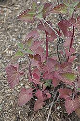 Catnip (Nepeta cataria) at Roger's Gardens