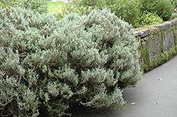 Cotton Lavender (Santolina chamaecyparissus) at Roger's Gardens
