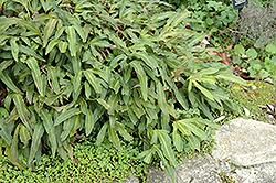 Felt Fern (Pyrrosia hastata) at Roger's Gardens