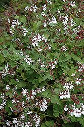 Pine Scented Geranium (Pelargonium x fragrans 'Pine') at Roger's Gardens