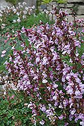 Dwarf Sage (Salvia officinalis 'Nana') at Roger's Gardens