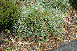 Blue Moor Grass (Sesleria caerulea) at Roger's Gardens