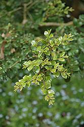 Orange-bark Myrtle (Luma apiculata) at Roger's Gardens