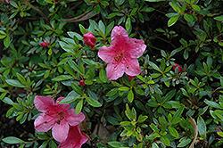 Satsuki Red Azalea (Rhododendron 'Satsuki Red') at Roger's Gardens
