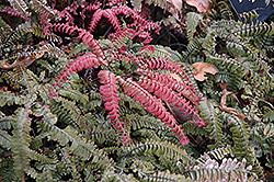 Rough Maidenhair Fern (Adiantum hispidulum) at Roger's Gardens