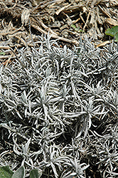 Silver Frost Lavender (Lavandula 'Silver Frost') at Roger's Gardens