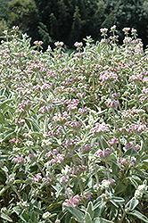 Italian Jerusalem Sage (Phlomis italica) at Roger's Gardens
