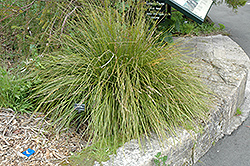 Breeze Dwarf Mat Rush (Lomandra longifolia 'LM300') at Roger's Gardens