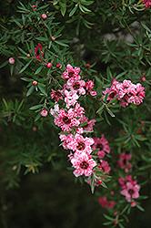 Helene Strybing Tea-Tree (Leptospermum scoparium 'Helene Strybing') at Roger's Gardens