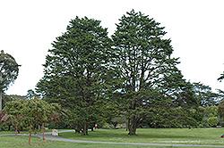 Monterey Cypress (Cupressus macrocarpa) at Roger's Gardens