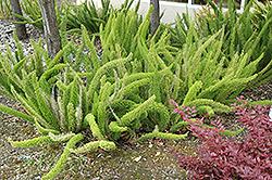 Foxtail Fern (Asparagus meyeri) at Roger's Gardens