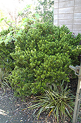 Boxleaf Euonymus (Euonymus japonicus 'Microphyllus') at Roger's Gardens