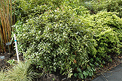 Variegated False Holly (Osmanthus heterophyllus 'Variegatus') at Roger's Gardens