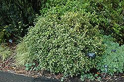 Variegated False Holly (Osmanthus heterophyllus 'Goshiki') at Roger's Gardens