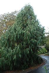 Kashmir Cypress (Cupressus torulosa 'var. cashmeriana') at Roger's Gardens