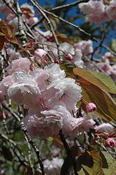 White Flowering Cherry (Prunus serrulata 'Alborosea') at Roger's Gardens