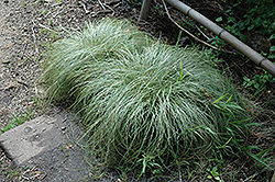 New Zealand Hair Sedge (Carex comans 'Frosted Curls') at Roger's Gardens