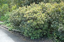 Mountain Pepper (Drimys lanceolata) at Roger's Gardens