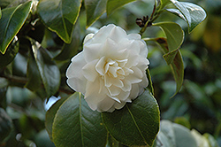 Purity Camellia (Camellia japonica 'Purity') at Roger's Gardens