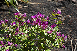 Petite Butterfly Sweet Pea Shrub (Polygala fruticosa 'Petite Butterfly') at Roger's Gardens