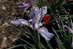 Golden Iris (Iris innominata) at Roger's Gardens