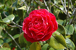 Mathotiana Camellia (Camellia japonica 'Mathotiana') at Roger's Gardens