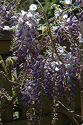 Cooke's Purple Chinese Wisteria (Wisteria sinensis 'Cooke's Purple') at Roger's Gardens