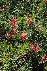 Juniper Leaf Grevillea (Grevillea juniperina) at Roger's Gardens