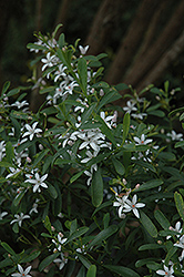 Long Leaf Waxflower (Philotheca myoporoides) at Roger's Gardens