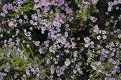 Confetti Bush (Coleonema pulchellum) at Roger's Gardens