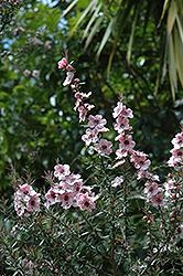 Ray Williams Tea-Tree (Leptospermum scoparium 'Ray Williams') at Roger's Gardens