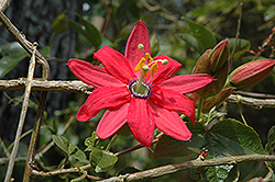 Coral Seas Passion Flower (Passiflora 'Coral Seas') at Roger's Gardens