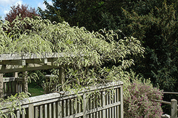Shiro Kapitan Silky Wisteria (Wisteria brachybotrys 'Shiro Kapitan') at Roger's Gardens