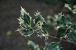 Silver Hedgehog Holly (Ilex aquifolium 'Ferox Argentea') at Roger's Gardens