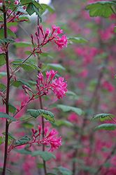 Claremont Winter Currant (Ribes sanguineum 'Claremont') at Roger's Gardens