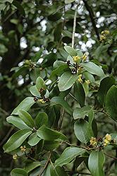 California Bay Laurel (Umbellularia californica) at Roger's Gardens