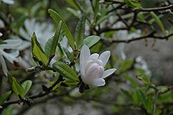 Pink Star Magnolia (Magnolia stellata 'Rosea') at Roger's Gardens