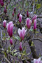 Nigra Lily Magnolia (Magnolia liliiflora 'Nigra') at Roger's Gardens