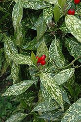 Variegated Japanese Aucuba (Aucuba japonica 'Variegata') at Roger's Gardens
