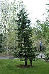 Coast Redwood (Sequoia sempervirens) at Roger's Gardens