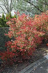 Fraser Photinia (Photinia x fraseri) at Roger's Gardens