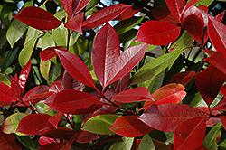 Red Robin Photinia (Photinia x fraseri 'Red Robin') at Roger's Gardens