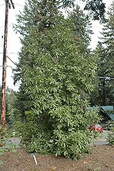 Tanbark Oak (Lithocarpus densiflorus) at Roger's Gardens
