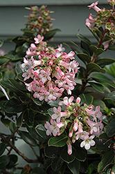 Pink Princess Escallonia (Escallonia x exoniensis 'Fradesii') at Roger's Gardens