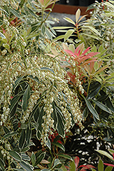 Flaming Silver Japanese Pieris (Pieris japonica 'Flaming Silver') at Roger's Gardens
